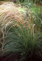 http://www.braun-jungpflanzen.de/neu2007/graeser/17.jpg